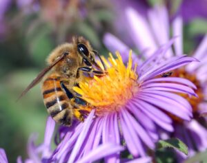 honey_bee_bee_insect